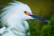 Headshot of Breeding snowy egret