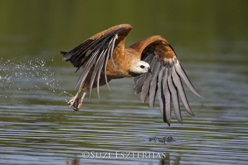 Black-collared Hawk<br /> Busarellus nigricollis<br /> Pantanal, Brazil