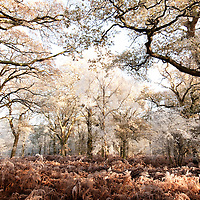 Oak wood in winter, Oxfordshire, UK