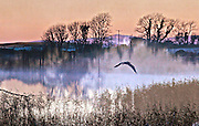 A heron swoops over the lake on a winter morning.<br /> <br /> Available as a signed and limited edition (100) giclee fine art print from the Foxglove Lane studio only. White border. Signed and numbered on the front. <br /> <br /> Contact me directly for special requests. Price 70 Euros includes FREE SHIPPING
