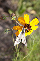 Thelesperma (Thelesperma filifolium), Llano County, Texas