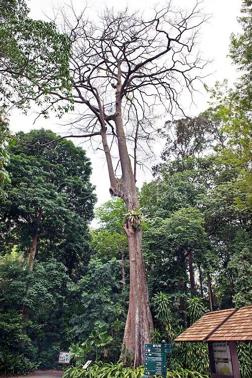 Terminalia subspathulata (Malayan terminalia). HERITAGE TREE, Singapore Botanic Garden.
