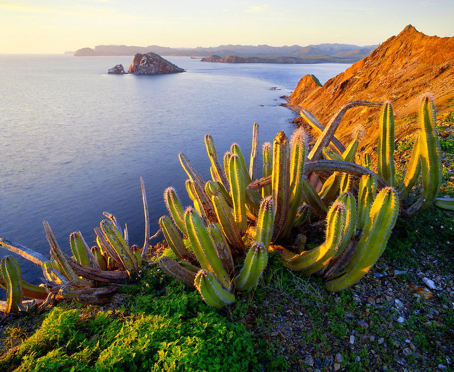 6103-1066 ~ Copyright:  George H. H. Huey ~ A senita cactus sprawls over the western edge of Isla Datil at sunset.  Isla Cholludo and Isla Tiburon in distance.  Sea of Cortes, Mexico.