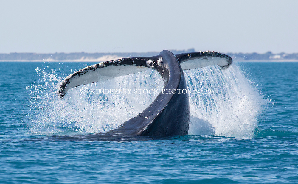 A Humpback whale performs a tail slash off Broome's Cable Beach.