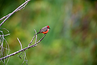 Male Vermilion Flycatcher (Pyrocephalus rubinus) perched in a tree, Chapala, Jocotopec, Jalisco, Mexico