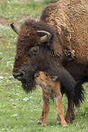 Less than an hour old, a newborn bison calf nuzzles his mother lovingly. Bison cows are very devoted to their calves and will care for them for the next three years.