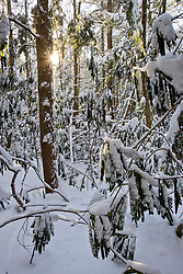 Fresh snow in forest at Rhododendron State Park in Fitzwilliam, New Hampshire.