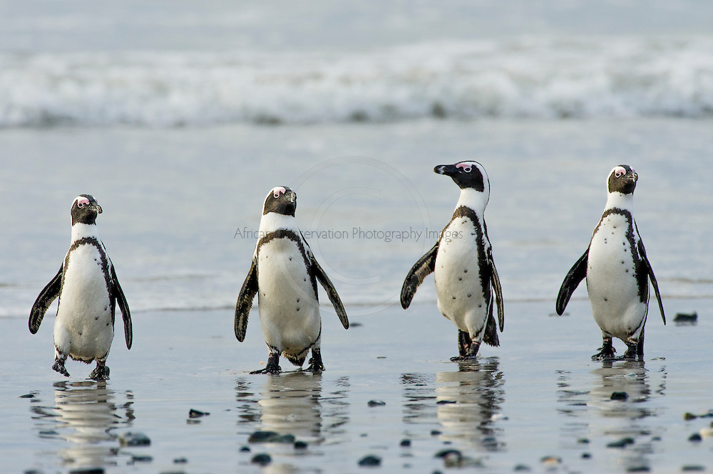 Four African Penguins emerge from the sea on Robben Island in South Africa
