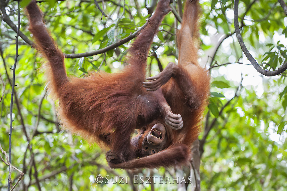 Bornean Orangutan <br /> Pongo pygmaeus<br /> Four-year-old babies playing<br /> Tanjung Puting National Park, Indonesia