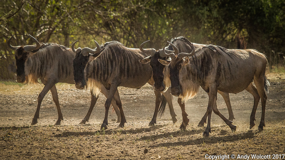 Blue Wildebeest, aka Brindled Gnue, White-bearded Wildebeest (Connochaetes Taurinus)<br /> Wildebeest can detect rain up to 30 miles away - they follow the rain, and the resulting new grasses, across the Serengeti, into the Ngorongoro Conservation Area (Ndutu) and back north to the Masai Mara in Kenya - The Great Migration. Wildebeest travel over 1000 miles a year in search of the best grass.
