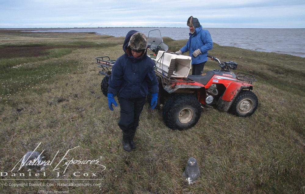 Nuk keeps an eye on the Snowy Owl chicks prior to release. Barrow, Alaska