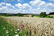 Landschaft mit Getreidefeld im Odenwald, Hessen, Deutschland   Landscape with grain field in the Odenwald, Hesse, Germany