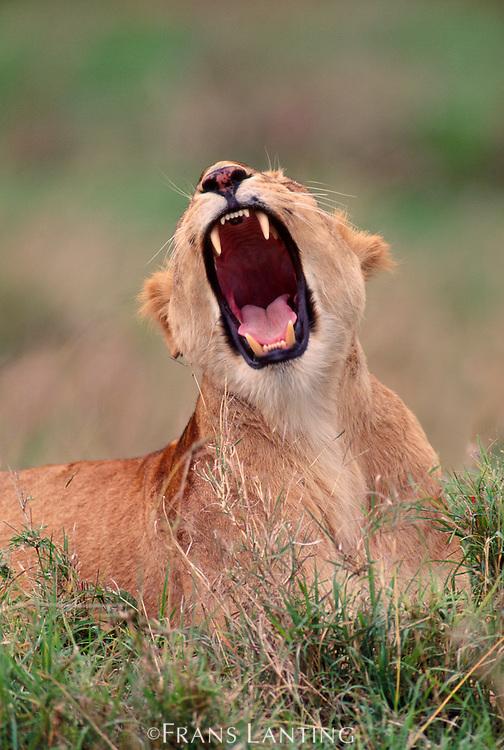 Lioness yawning, Panthera leo, Masai Mara, Kenya
