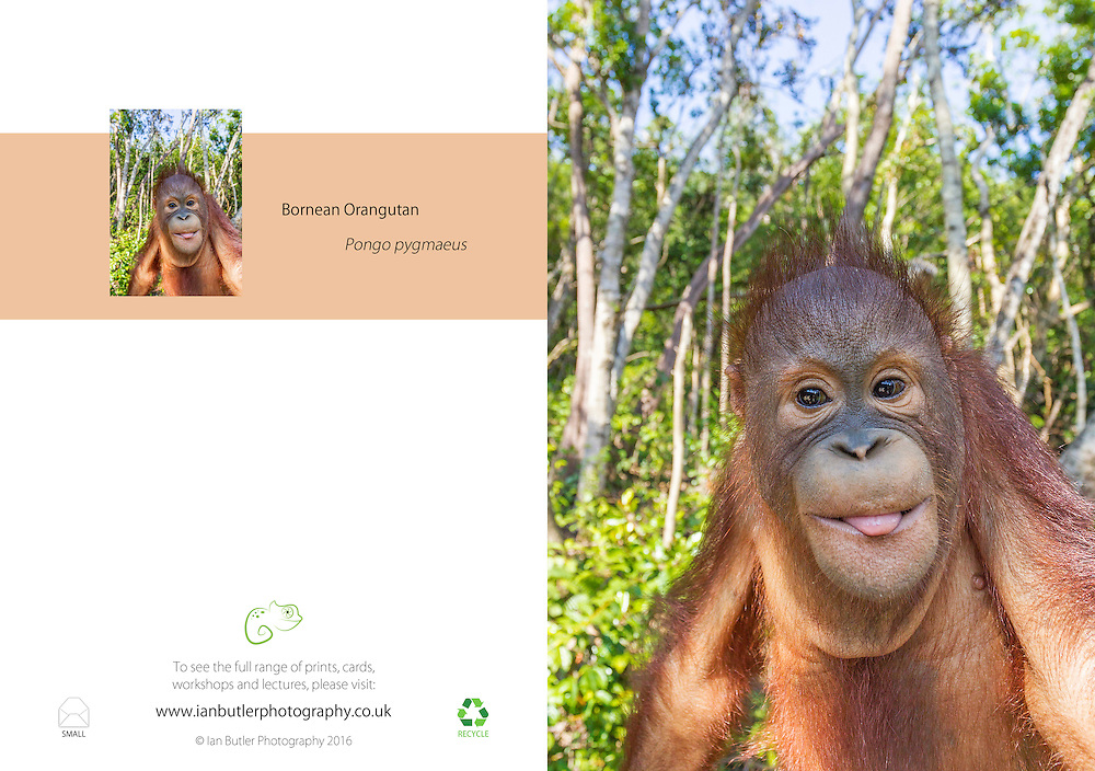 Bornean Orangutan Pongo pygmaeus A5 Greeting Card with Peel and Seal White Envelope