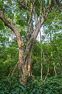 Remarkable trees in the gorge forest, Chambura Gorge, Queen Elizabeth National Park, Uganda