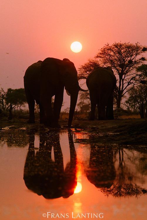African elephants at sunset, Loxodonta africana, Okavango Delta, Botswana