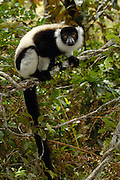 Black and White Ruffed Lemur (Varecia variegata variegata) in rainforest near Mantadia National Park, endangered, Madagascar