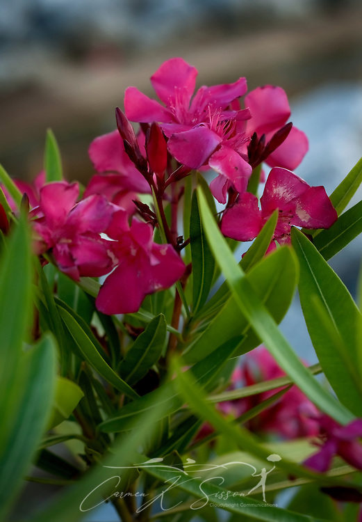 """Red oleanders are a frequent sight during the summertime in Ocean Springs, Miss. Ocean Springs, known as the """"City of Discovery,"""" also features whimsical street art throughout the downtown area. (Photo by Carmen K. Sisson/Cloudybright)"""