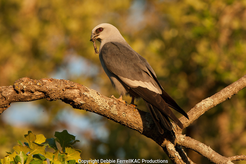 Mississippi Kite with dead lizard
