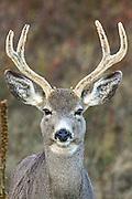 Female Mule Deer with Antlers in Habitat, Close-up