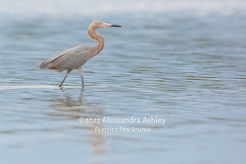 Reddish egret (Egretta refescens) pauses for a moment while strolling through knee-deep water. Photographed at Bunche Beach Preserve, southwest Florida.