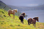 Beautiful domestic horses in the Faroe Islands