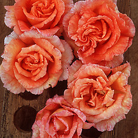Five orange blooms of Rose or Rosa Sallys standing in wooden rack on wooden board