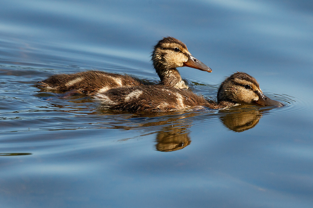 Mallard ducklings with reflections, Lake Padden, Bellingham, Washington State