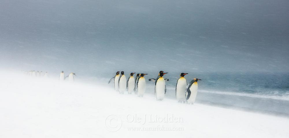 King Penguin (Aptenodytes patagonicus) on South -Georgia