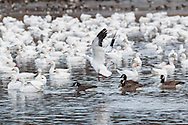 Middletown, New York - Snow geese and Canada geese gather in the lake at Fancher-Davidge Park on Feb. 3, 2017.