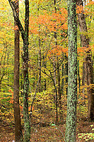 Maple Trees in Fall at the Bernheim Forest, Clermont, Kentucky