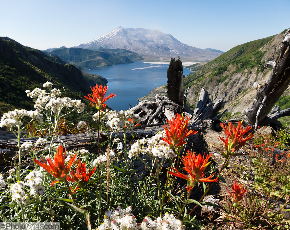 Castilleja, commonly known as Indian paintbrush, flowers in Mount Saint Helens National Volcanic Monument, Washington, USA. Spirit Lake is covered with floating logs from a forest blasted and avalanched by the May 18, 1980 eruption, the most deadly and destructive volcanic event in the history of the United States. The debris avalanche, the largest in recorded history, shrank the mountain from 9677 feet (2950 m) elevation to 8364 feet (2550 m), leaving a mile-wide horseshoe-shaped crater.  Fifty-seven people were killed. 250 homes, 47 bridges, 15 miles of railways, and 185 miles of highway were destroyed. The active stratovolcano of Mount Saint Helens is one of 160 active volcanoes that comprise the Pacific Ring of Fire.  Mount St. Helens, part of the Cascade Range, takes its English name from the British diplomat Lord St Helens, who was a friend of George Vancouver, an explorer who surveyed the area in the late 18th century.