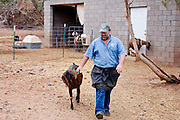 July 26, 2008 -- SNOWFLAKE, AZ: DAVID HEININGER gets one of his Nubian dairy goats from the barn before milking her at the Black Mesa Ranch, a 280 acre spread in the high desert near Snowflake, AZ. The ranch owners, David and Kathryn Heininger, run a herd of about 40 Nubian dairy goats and hand make artisan cheese from the goat's milk. It's a second gear for them, they retired from Tucson, AZ, where they bought and renovated  historic homes. The moved to the ranch in 2001 and started making and selling cheese shortly after the move. Their cheese is used in expensive restaurants in Phoenix and sold at natural food stores in Arizona. PHOTO BY JACK KURTZ
