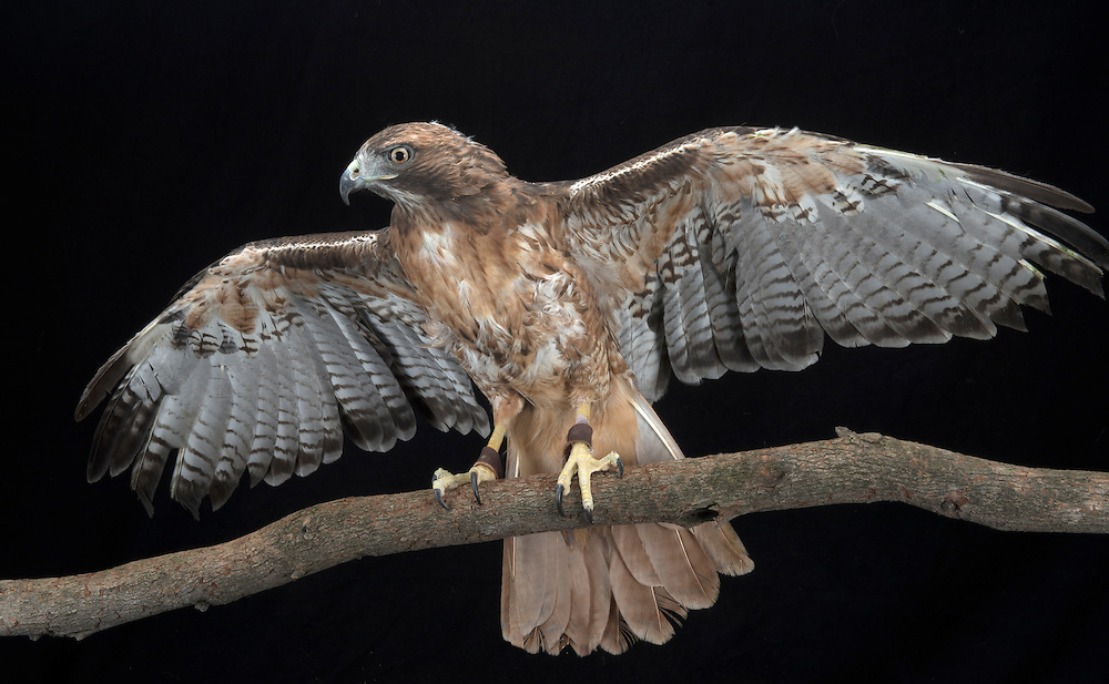 Red-tailed Hawk (Buteo jamaicensis), captive