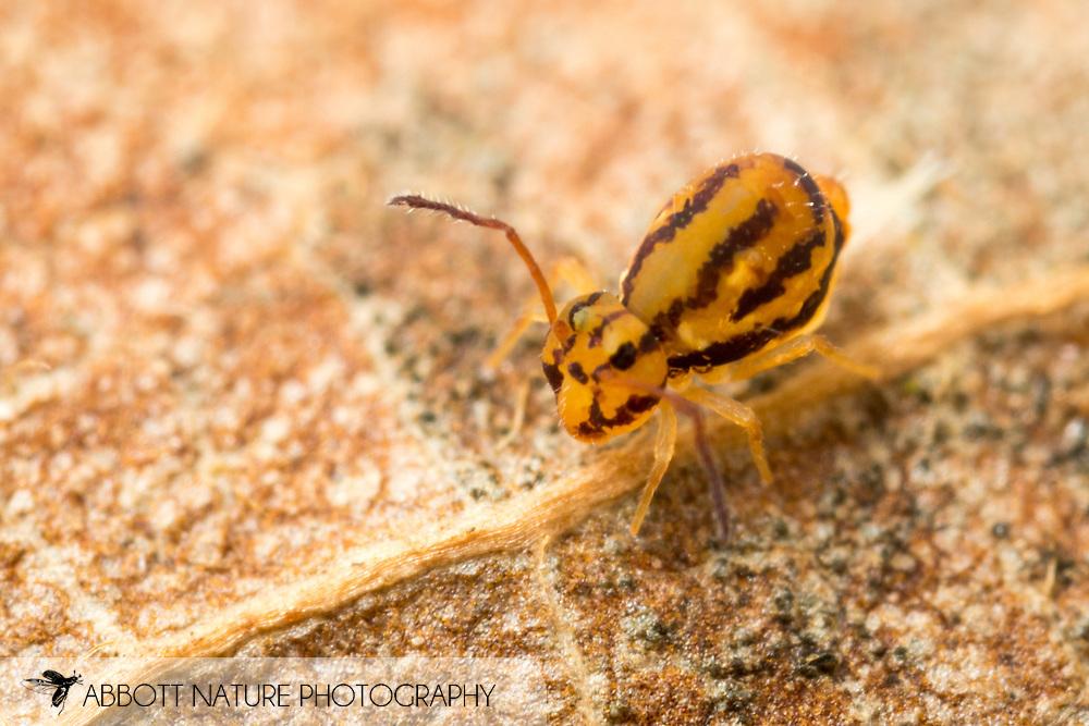 Springtail (Ptenothrix curvilineata)<br /> United States: Alabama: Tuscaloosa Co.<br /> Tulip Tree Springs off Echola Rd.; Elrod<br /> 16-Jan-2018<br /> J.C. Abbott #3021