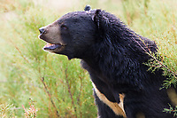 Asian Black Bear portrait in nature