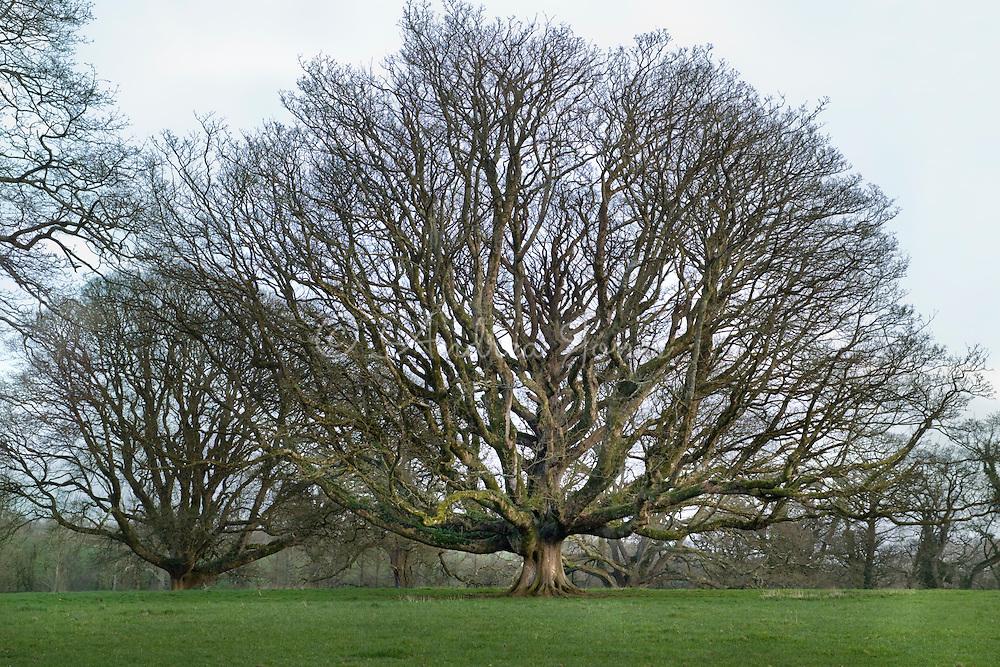 Oak (Quercus cv) at Trewithen, Cornwall