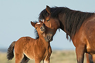 A young mare lovingly nuzzles her month old colt on a spring morning at McCullough Peaks Herd Management Area.