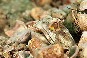 Male Banded Jawfish, Opistognathus macrognathus, removes a Bristle Worm from his burrow in the Lake Worth Lagoon, Palm Beach County, Florida.