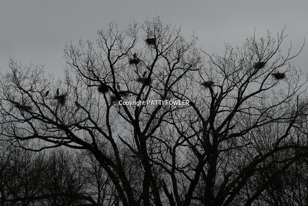 Great Blue Heron rookery in tree tops