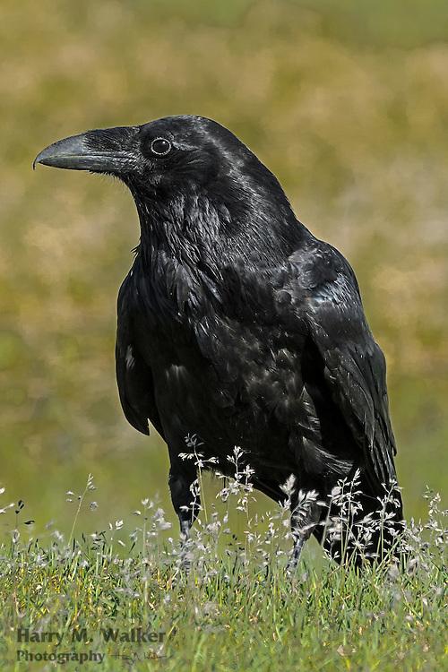 Common Raven (Corvus corax) along Turnagain Arm near Portage Creek; Seward Highway Alaska
