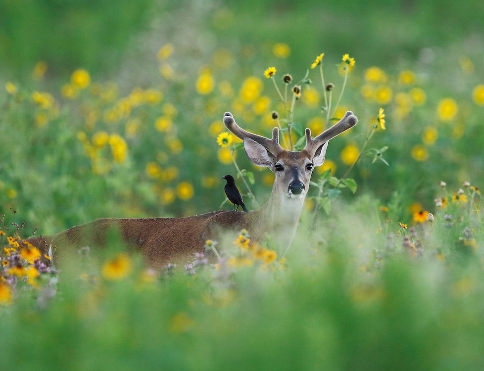 White-tailed Deer, Odocoileus virginianus; Photographer: Charlie Spiekerman<br />