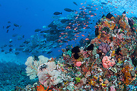 Anthias and Surgeonfish face into the current over a colorful reef slope<br /> <br /> Shot in Indonesia