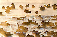 00748-05514 Canada Geese (Branta canadensis) flock on frozen lake,  Marion Co, IL