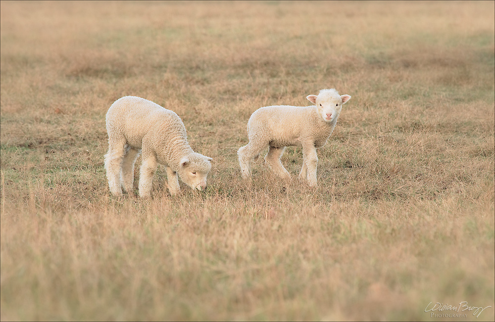 Lams in a pasture