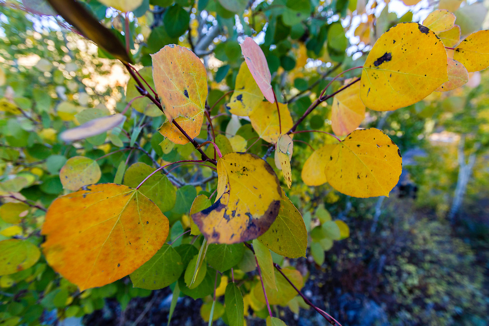 A bundle of aspen leaves cling on during Fall in Utah's Little Cottonwood canyon.