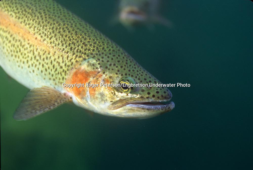 Steelhead Trout, Michipicoten River, near Wawa Ontario <br /> <br /> Roger Peterson/ENGBRETSON UNDERWATER PHOTO
