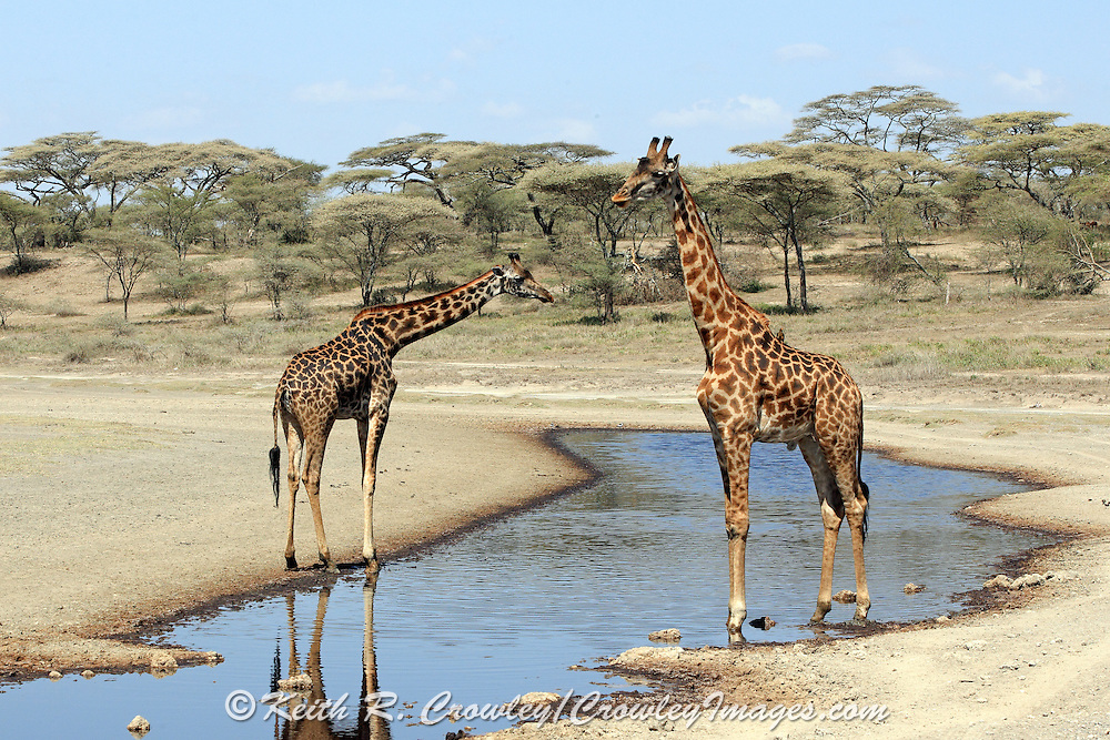 Giraffes stand in a shallow water hole in East Africa