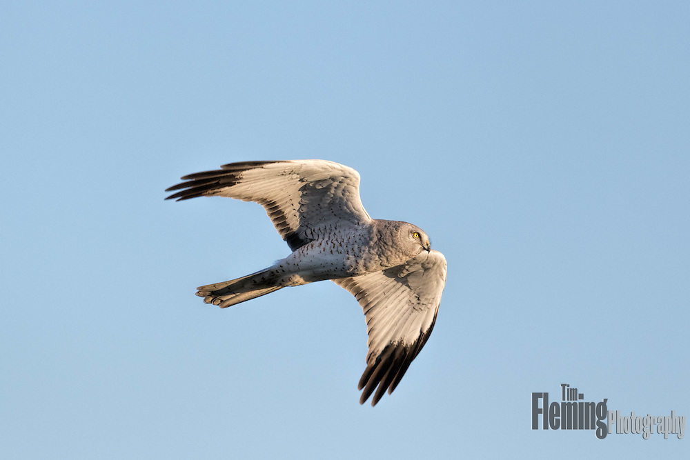 A male Northern Harries soars above a marsh searching for small mammals or birds.