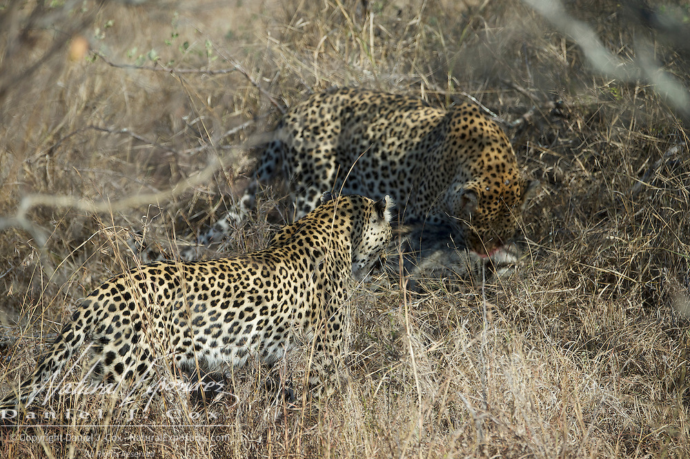 Leopard, male stumbles on to a stripped polecat that was hiding in the brush and was found by accident as the male found it by accent while trying to avoid female leopard with cubs. Female comes in to check out the kill the male has just made. Timbavati Game Reserve, South Africa.